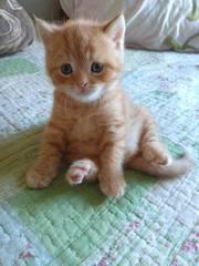 Шотландский котенок.