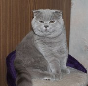 Шотландские котята.Питомник.